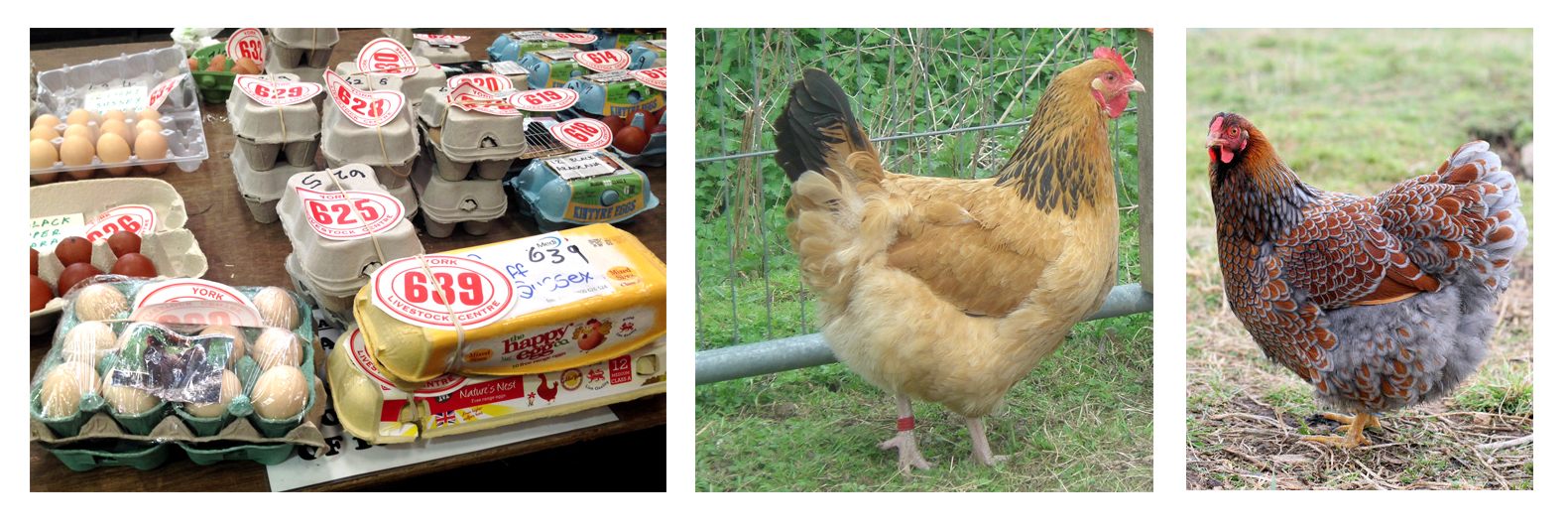 Egg chicken montage