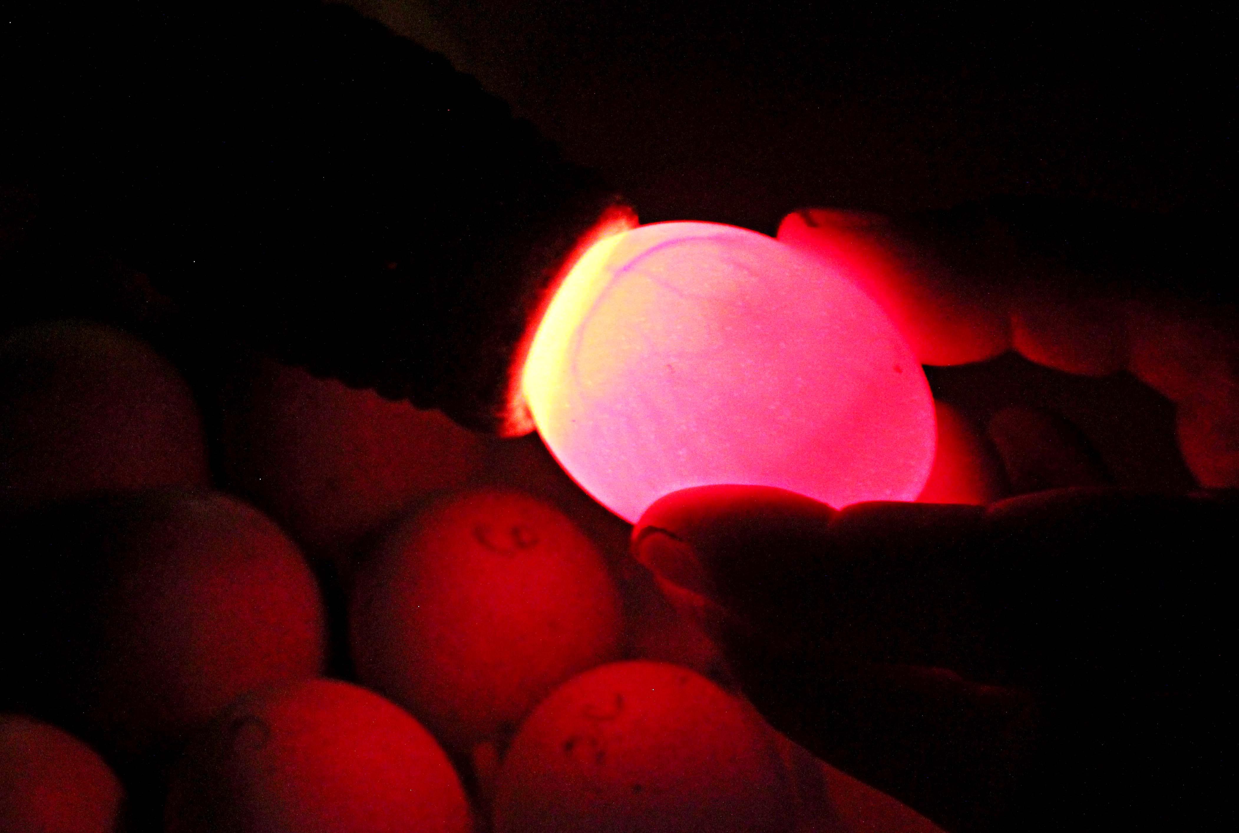 how to tell if egg fertilised